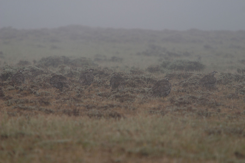 Sage grouse in fog