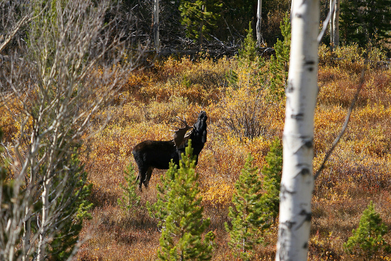 Shiras moose bull in rut, Shoshone National Forest near Lander