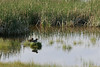 Cinnamon and green-winged teal