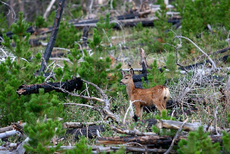 Mule deer fawn on Green Mountain