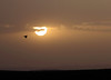Sage grouse flying through Wyoming sunrise
