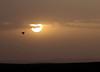 Sage grouse flying through Wyoming sunrise