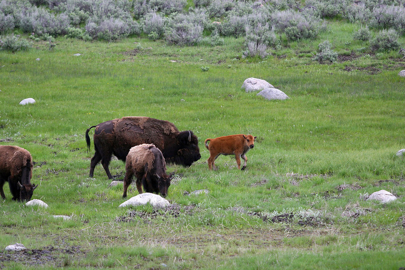 Bison family - Yellowstone National Park