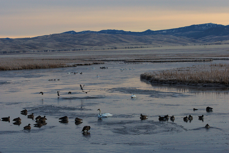 Waterfowl - Flat Creek on National Elk Refuge, Jackson Wyoming
