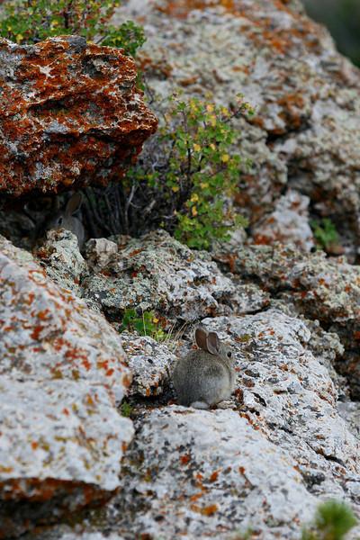 Rock bunnies