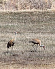 Sandhill Cranes on Willow Creek