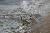 Canada Geese - Kelly Warm Springs, Kelly, WY