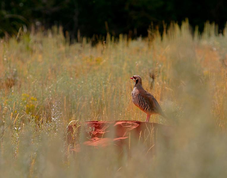 Chukar in Red Canyon near Lander, Wyoming