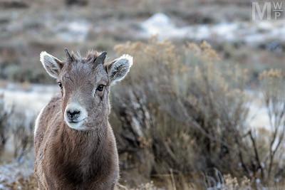Baby Bighorn