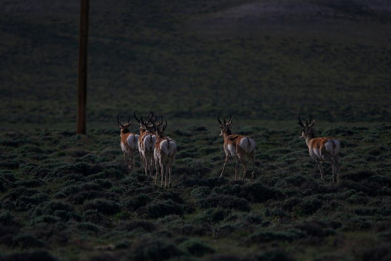 Pronghorn bucks - Jeffrey City, WY