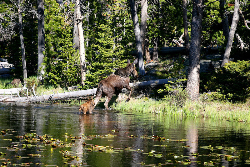 Cow and calf moose in lily pond near Little Popo Agie River