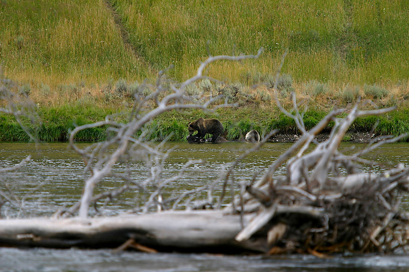 Grizzly bears on bison carcass, Yellowtone River