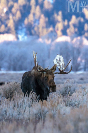 King of the Gros Ventre