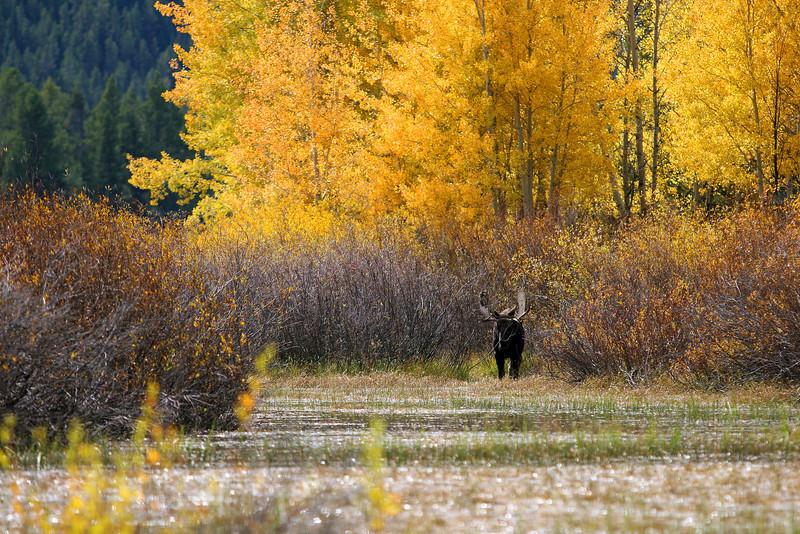 Bull Moose - Grand Teton National Park, WY