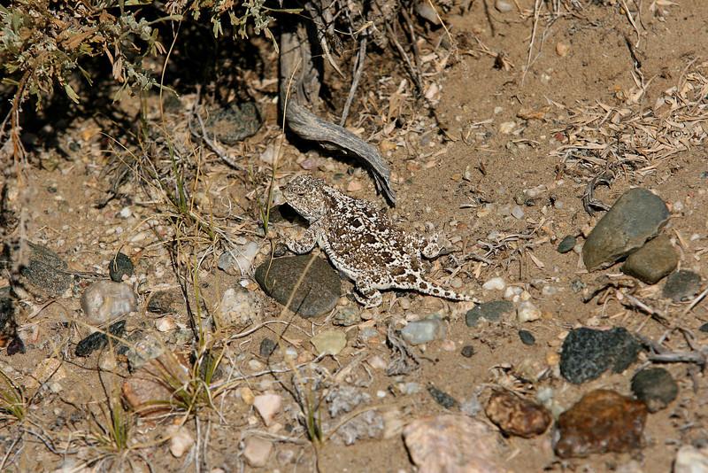 Greater Short-horned Lizard, Bison Basin, Wyoming