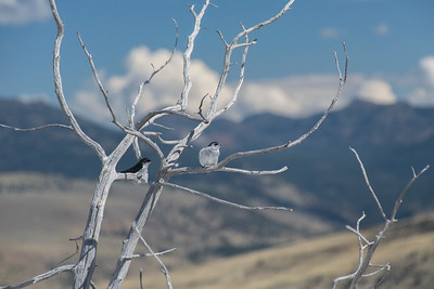 Two Birds at Mammoth Hot Springs