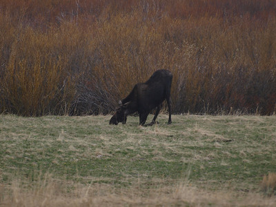Moose eat from their knees.