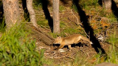 Kit fox at Coulter Bay in GTNP.