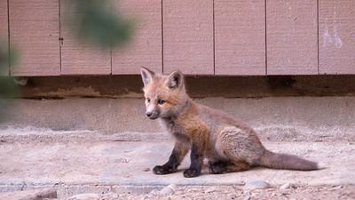 Young kit fox at Coulter Bay in GTNP.