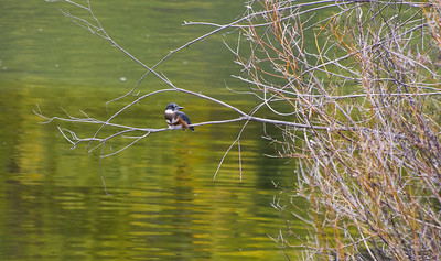 Belted Kingfisher on the Snake River.