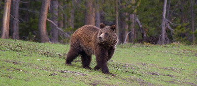 Young sub-adult grizzly bear near Colter Bay.