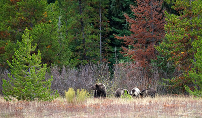 Sow grizzly and her 3 cubs.  Along the Snake river near the Jackson Lake dam.