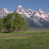 Trees and Grand Teton at Sunrise