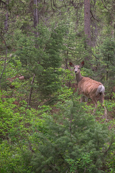Deer Looking in the Camera