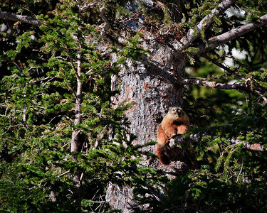 Marmot with a View, Lake Marie This is the first Marmot that I have seen in a tree.