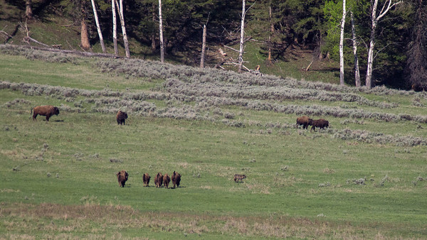 Five buffalo with raised tails start pursuing black wolf.