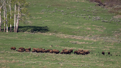 Buffalo herd surrounding and protecting dead cow buffalo carcass from wolves.
