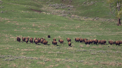 Buffalo herd chasing off grizzly bear that came down to feed on the dead cow buffalo carcass.