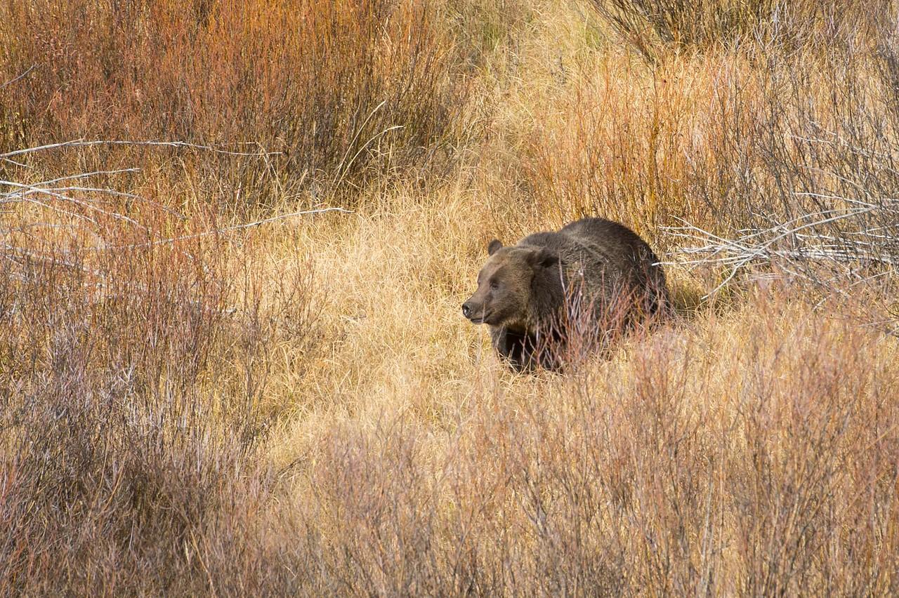 Brown Bear aka Grizzly 2