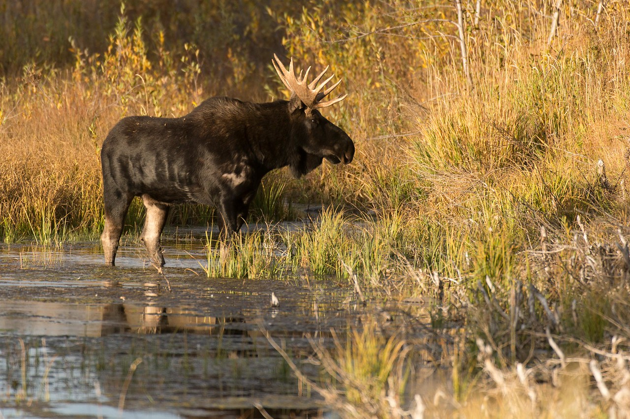 Bull Moose in water