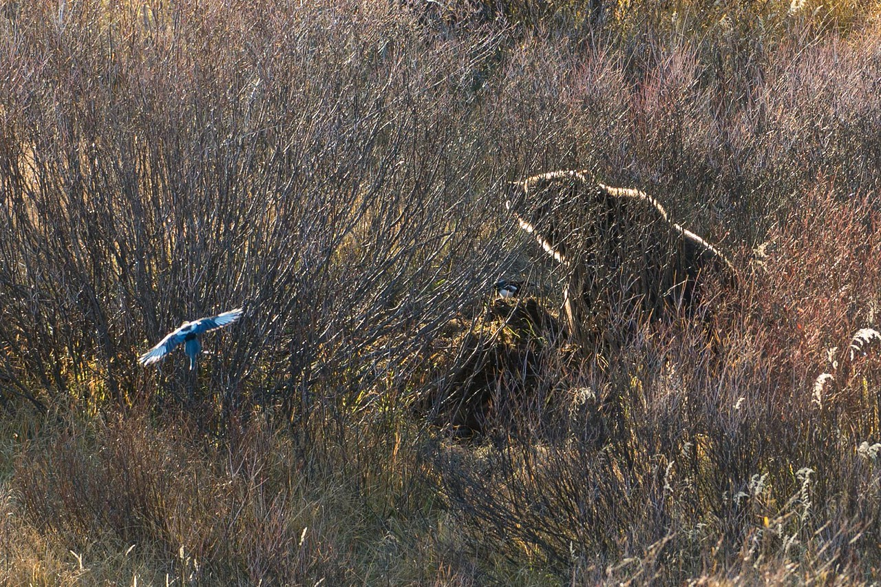Brown Bear guarding and feeding from elk kill