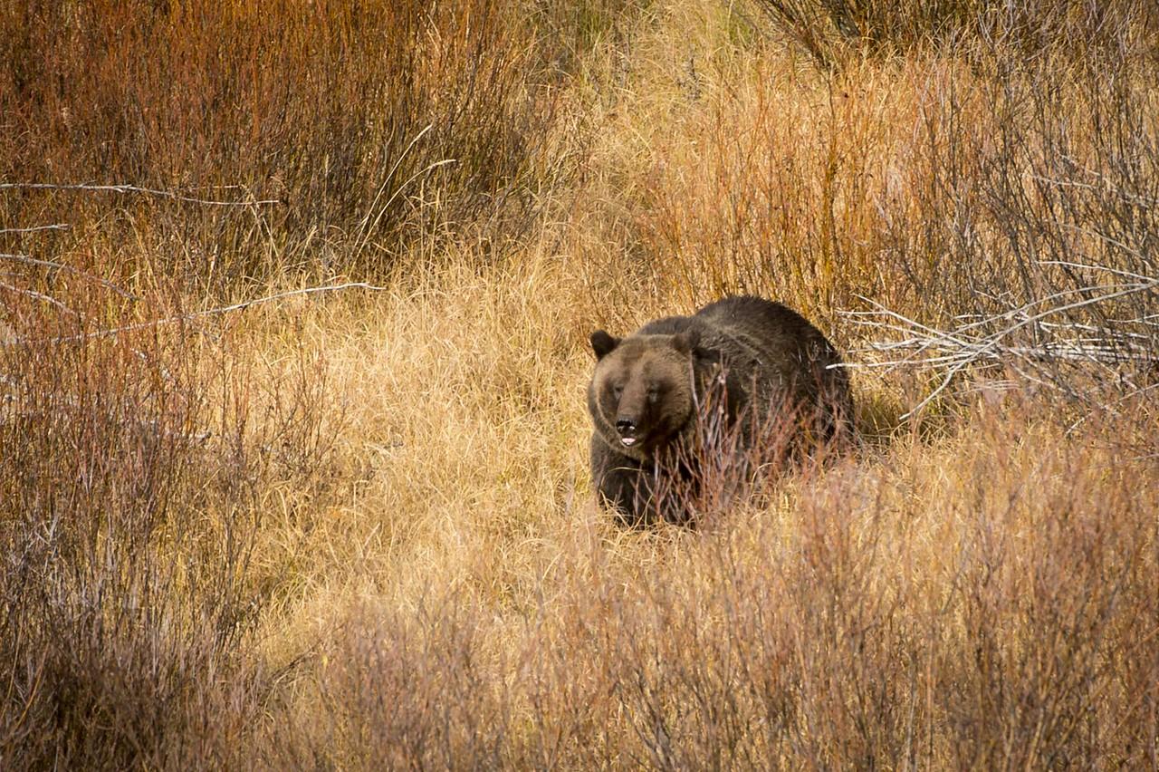 Brown Bear aka Grizzly.