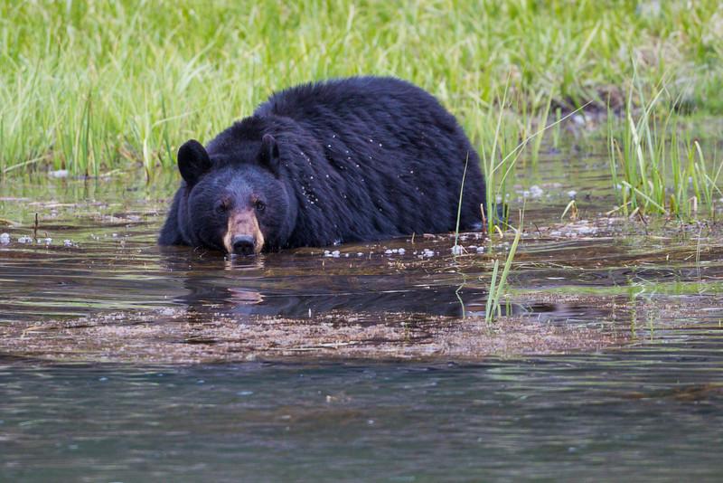 A black bear (Ursus americanus) sow takes a swim in Rainy Lake. Taken in Yellowstone National Park, Wyoming, USA.