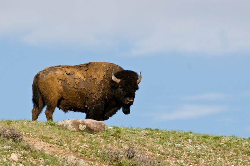 Bison on Hilltop