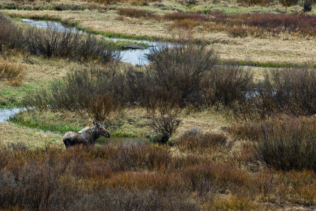Moose at Christian Creek