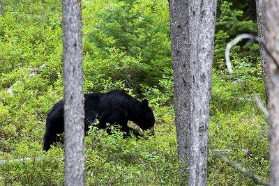 Black bear sow-she was making a major meal of the fresh huckleberries!