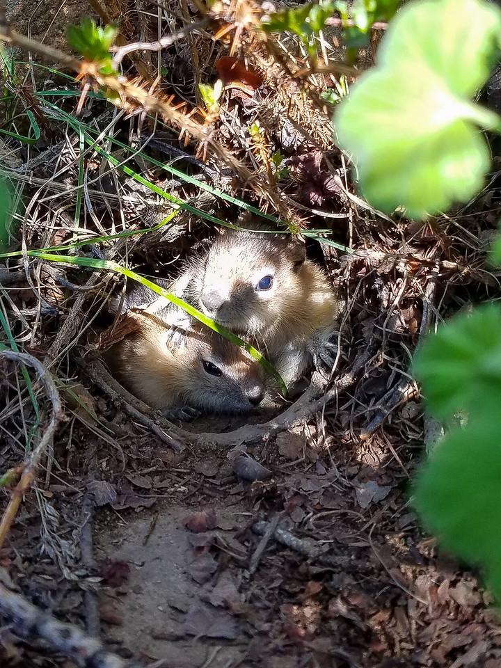 Baby chipmunks in their nest.
