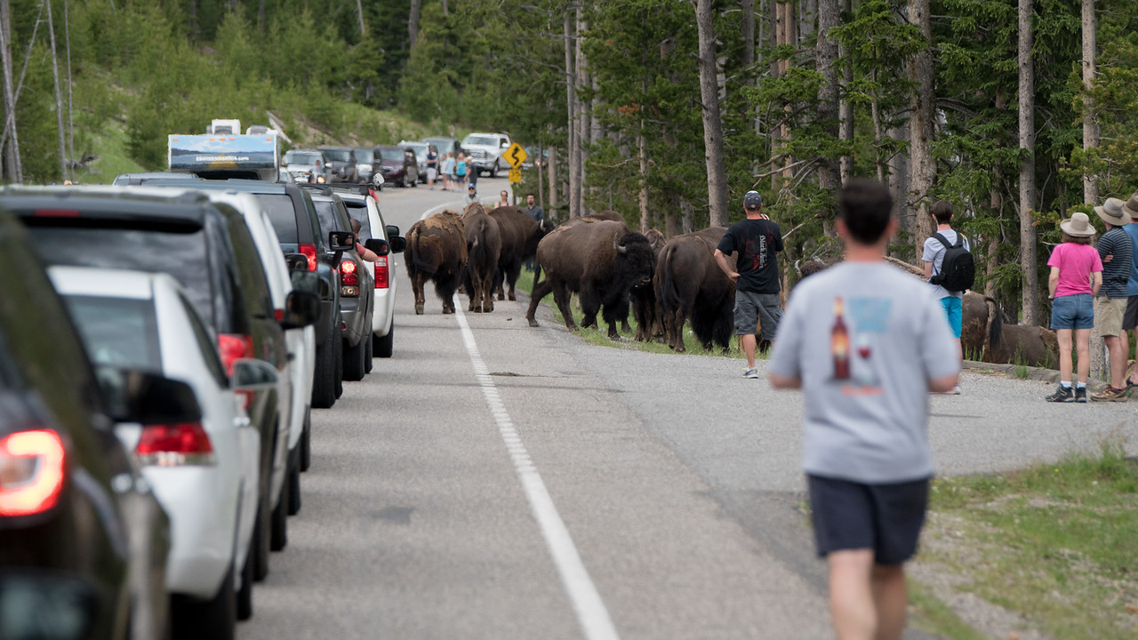 Crazy people way to close to these wild bison.  Bison kill and injure more people in YNP than any other animal.
