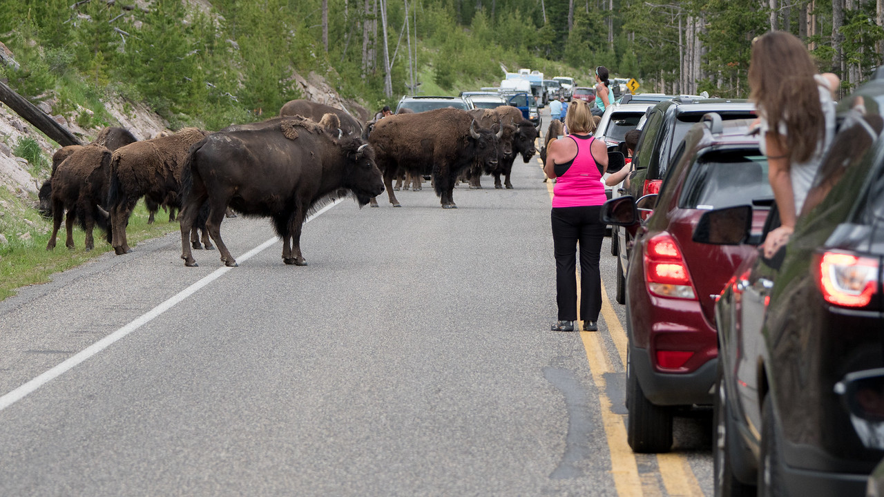 We had a one hour traffic jam due to these stubborn bison.  After we got by the buffalo, the cars coming from the other direction were backed up for more than 5 miles.