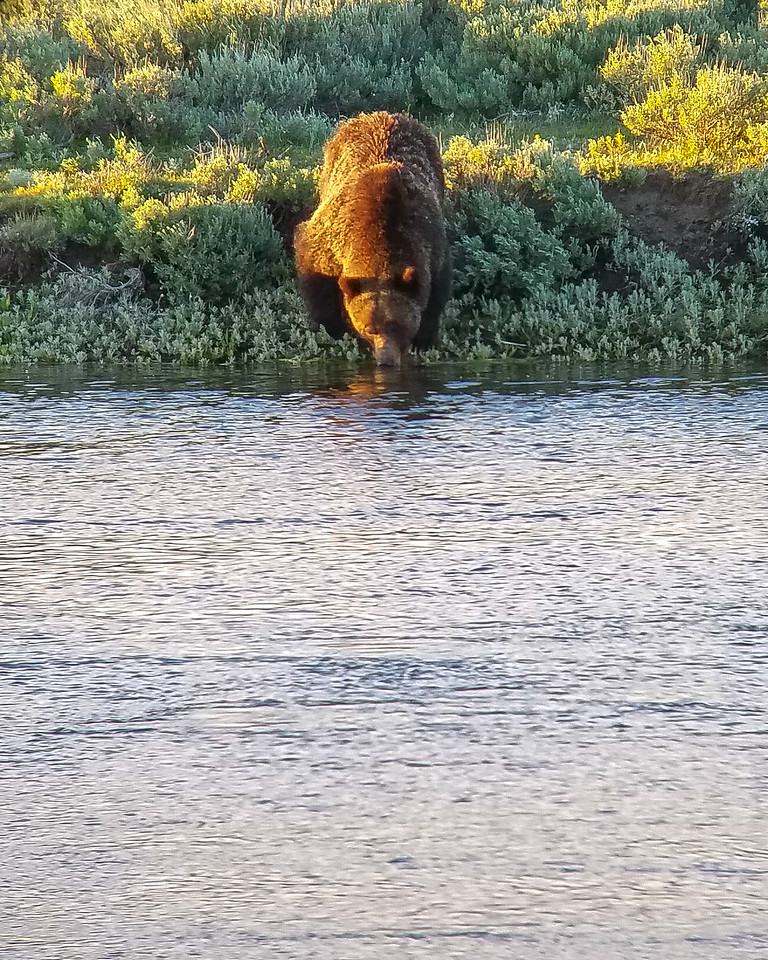 Grizzly drinking from the Yellowstone river.