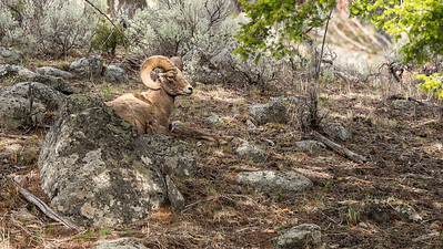 Big Horn Sheep (Ram)