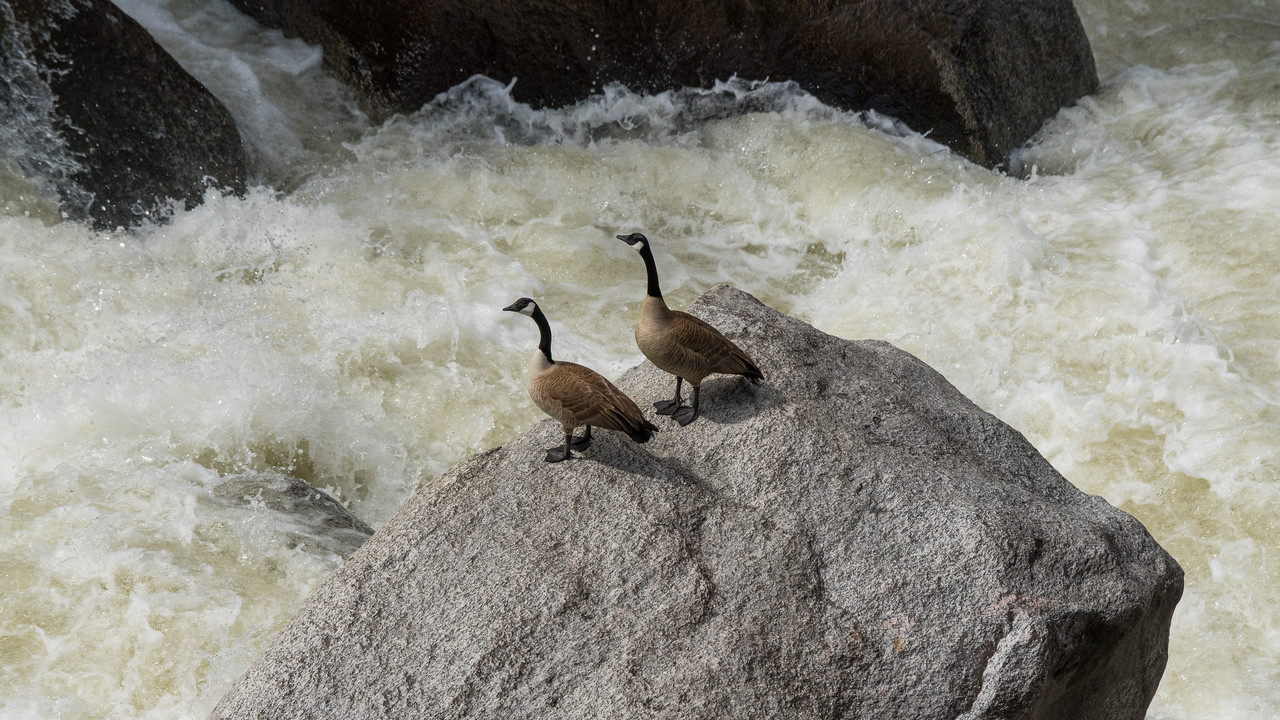 Canadian geese on the Lamar river.