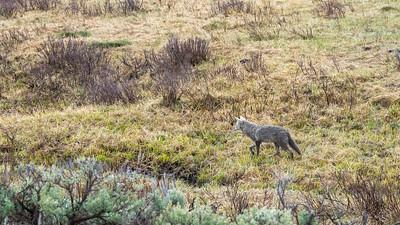 Wet Coyote