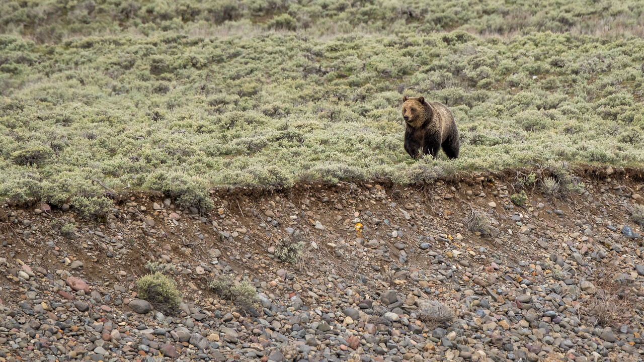 Grizzly bear smells food and is running towards it.