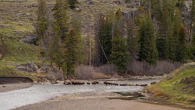 Bison crossing the Lamar river.