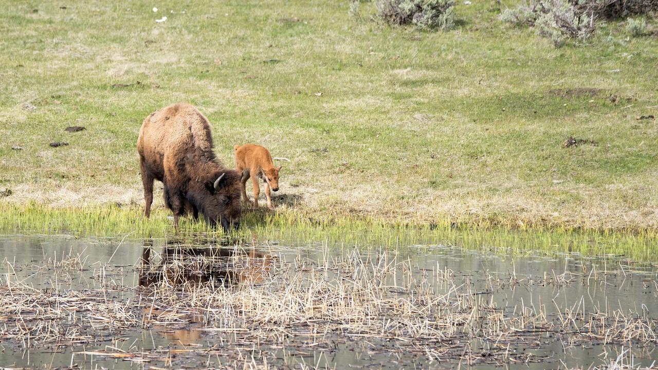 New born bison calf.